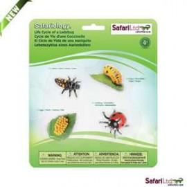 Life Cycle Ladybug